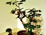 bonsai_hamasaka_018
