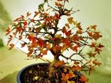 bonsai_hamasaka_021